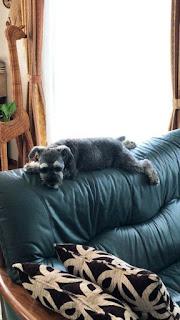 cães no encosto do sofá