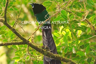 cendrawasih astrapia nigra