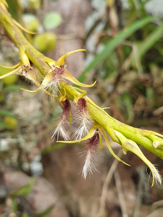 Bulbophyllum penicillium