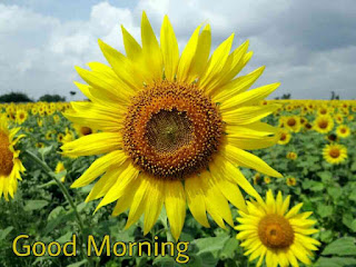 Beautiful Good Morning Images , Pictures, Photos, Pics and Wallpapers sun flower
