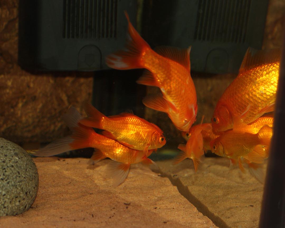 Des poissons une passion que sont les poissons rouges for Nourriture poisson rouge carotte