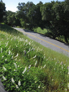 White and purple lupine blooming along the road to Henry Coe State Park, Morgan Hill, California