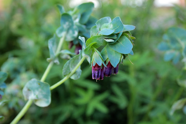 Cerinthe flower, also known as honeywort