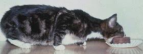 Cat Not Eating Thyroid