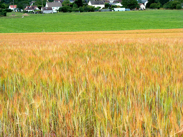 Wheat crop.  Indre et Loire, France. Photographed by Susan Walter. Tour the Loire Valley with a classic car and a private guide.