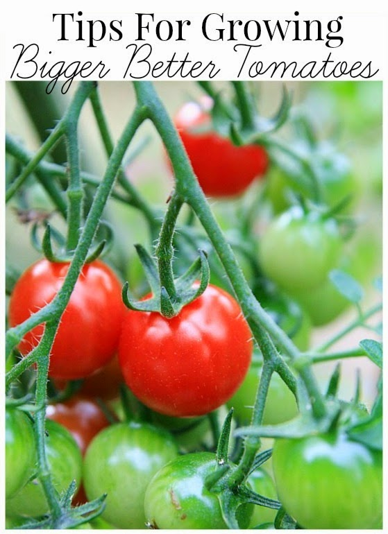 Tips for growing bigger tomatoes #vegetable_gardening