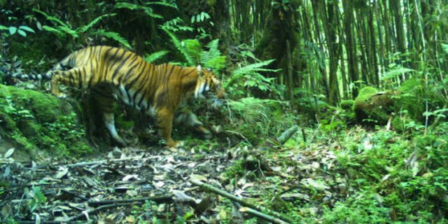 Royal Bengal Tiger spotted in North Sikkim