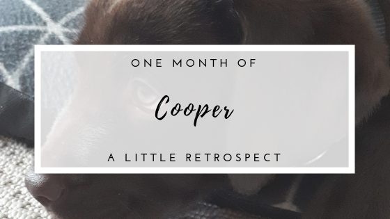 One month of Cooper: a little retrospect on having a Labrador Retriever puppy.