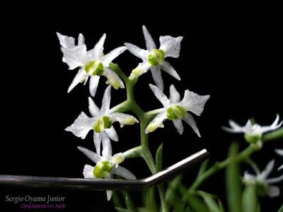 Orquídea Phymatidium delicatum