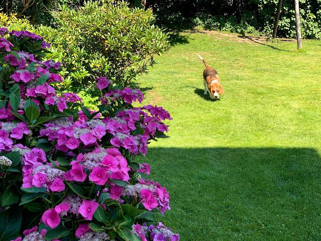 Bella den søde Beagle hund går tur i haven