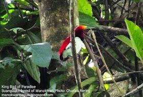 Watching King Bird of Paradise (Cicinnurus regius) in the forest of Manokwari.