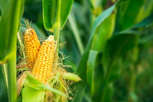 cara bertanam jagung untuk pemula