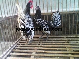 Ayam Batik Itali Dewasa