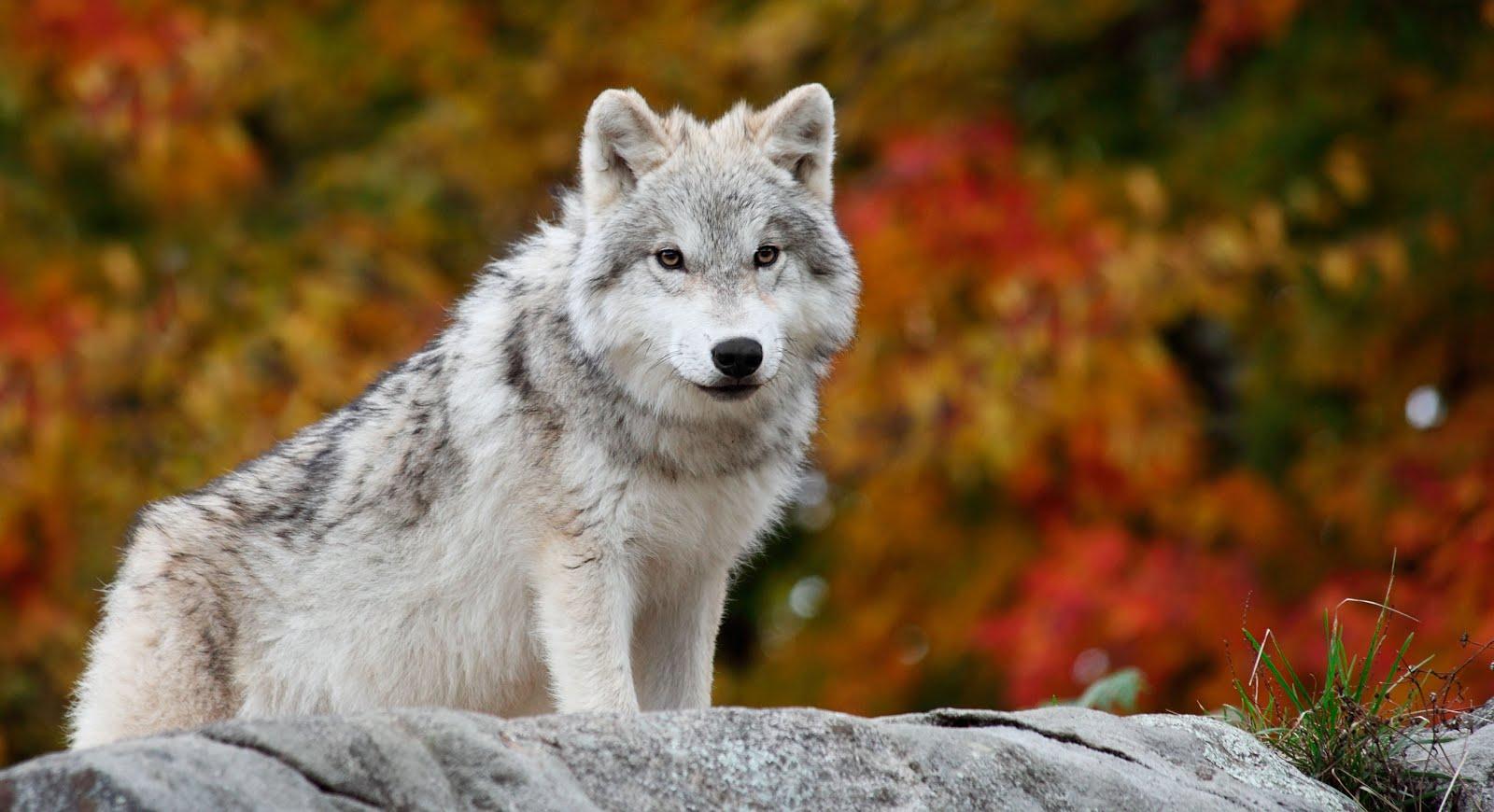Un Lobo Salvaje En El ártico Animales Muy Hermosos Wallpaper Hd