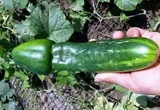 This Cucumber Has Got Everybody Talking  Seriously On Social Media, What's Your take