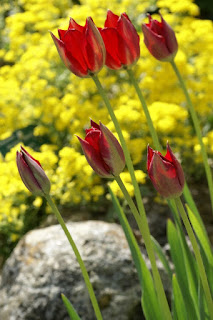 Tulipe d'Aime - Tulipe sauvage - Tulipa aximensis