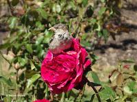 This Romeo rose has a lover - a House Sparrow - Wellington Botanic Garden, New Zealand