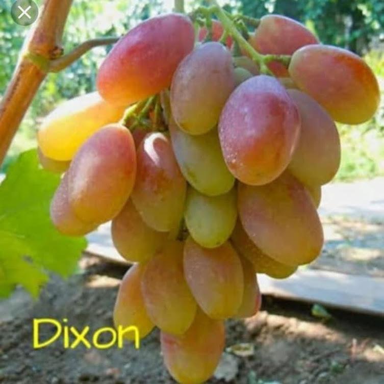 Bibit Anggur Import Dixon Grafting Original Jawa Barat