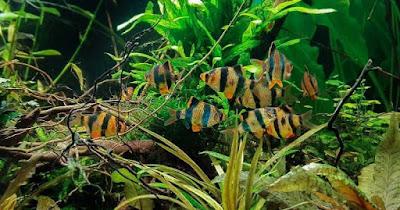 Ikan Sumatra Pemakan Kutu