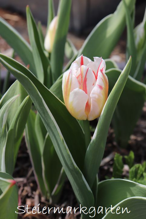 Tulpe-Shirley-Steiermarkgarten