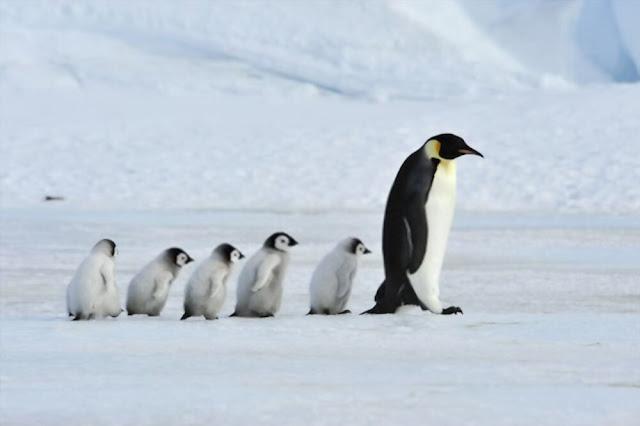 Emperor penguin having fun with the sunshine