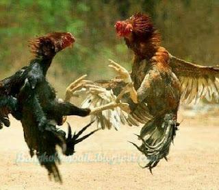Tips memilih ayam aduan untuk dijadikan calon petarung