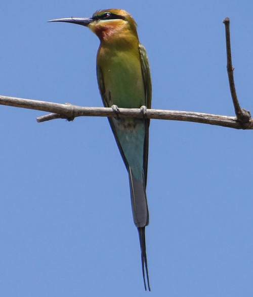 Indian birds - Image of Blue-tailed bee-eater - Merops philippinus