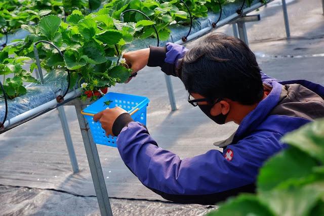 Kebun Strawberry wisata Lembah Asri Purbalingga