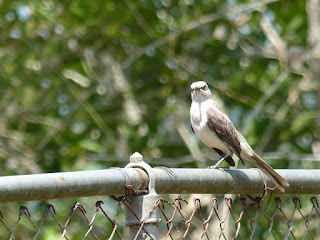 Mimus gilvus - Moqueur des savanes