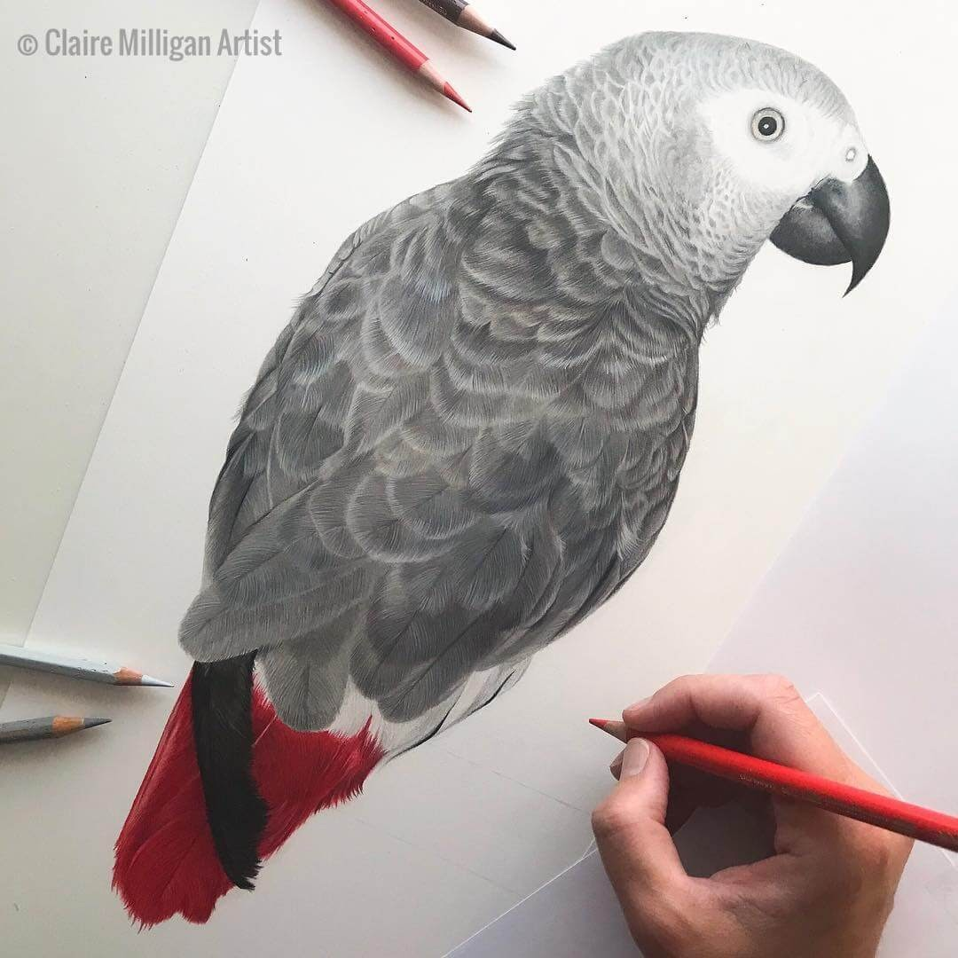 01-African-Grey-Parrot-Gina-Claire-Milligan-Realistic-Color-Pencil-Animal-Portraits-www-designstack-co