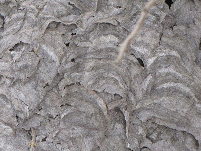 bald-faced hornet nest