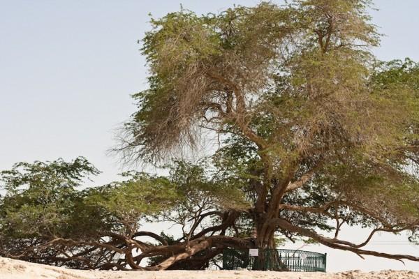 تعرفوا على شجرة الحياة فى البحرين NJKhE1-600x400.jpg