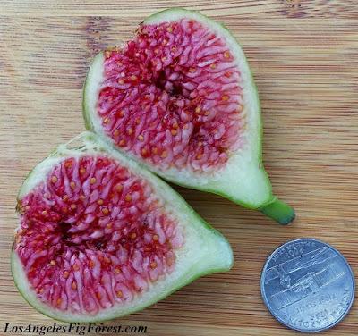 Holt fig