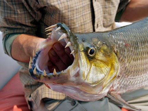 Dunia Ikan Hias - Ikan Predator