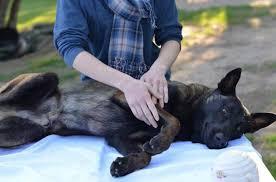 Cómo ayudar a un perro con artritis