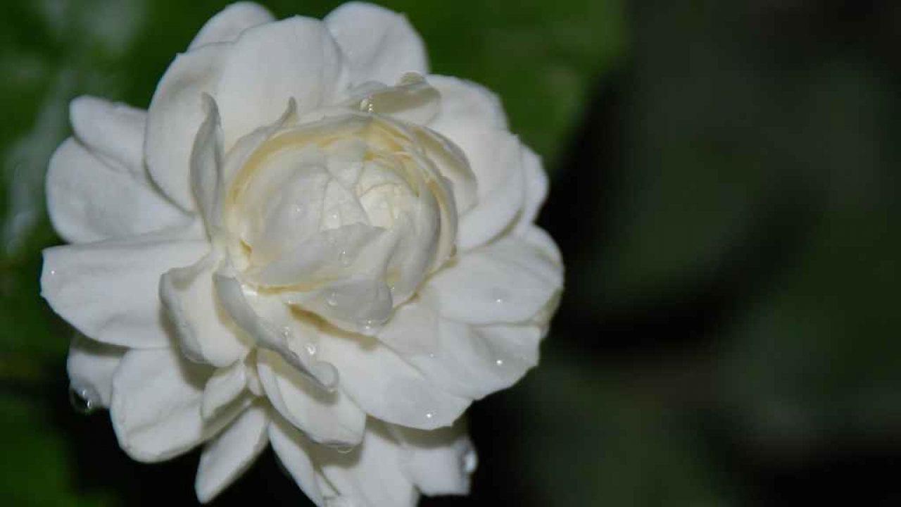 """طريقة الأعتناء بأجمل الزهرات المنزلية """"زهرة الفل"""""""