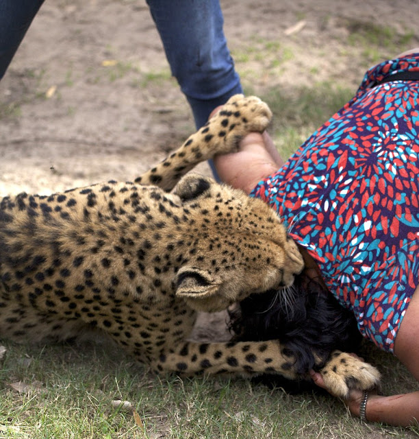 woman getting her face eaten by a cheetah