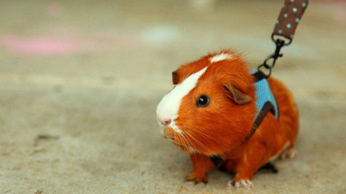 10 hewan peliharaan untuk anak-anak, Guinea Pigs, guinea pig meaning, guinea pig breeds, guinea pig price, guinea pig facts, guinea pig for sale, peruvian guinea pig, guinea pig information, guinea pig babies, funny pet