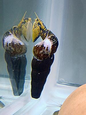 兔螺,虎斑兔螺,虎紋兔螺