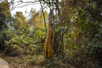 An old tree inside Satchari National Park