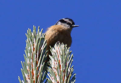 Photo of a Red-breasted Nuthatch on top of Douglas-fir