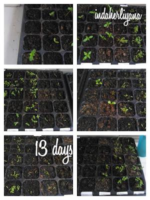 usia bibit bunga setelah 13 hari
