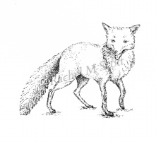 Fox stipple illustration by Rachel M Scott