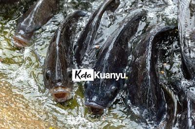 ikan nila keramba keuntungan dan kendalanya