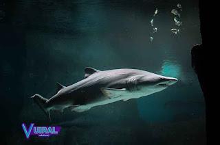 Contoh Hewan Karnivora Ikan Hiu
