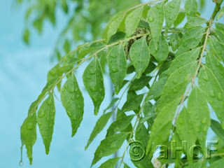 Fresh Curry Leaves - Murraya koenigii