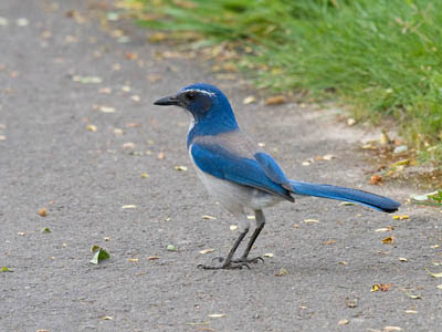 Photo of California Scrub-Jay on sidewalk