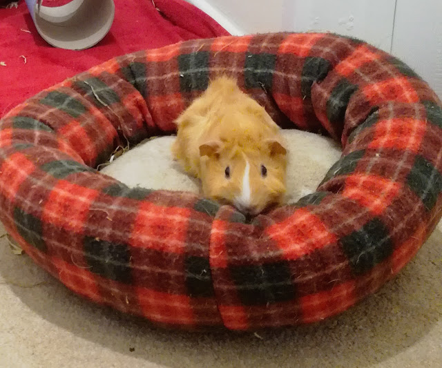 Sunny the guinea pig on cushion
