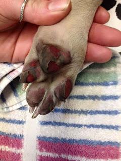 pata ferida em cães