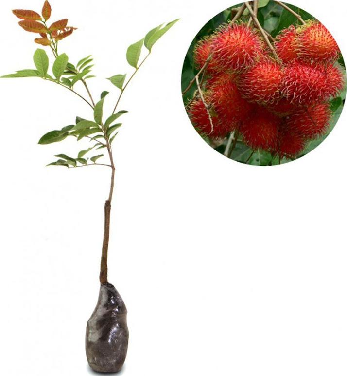 Bibit Tanaman Buah Rambutan Binjai Sumatra Utara